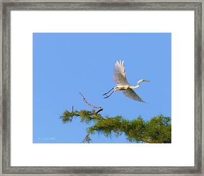 Fly Away Egret Framed Print by J Larry Walker