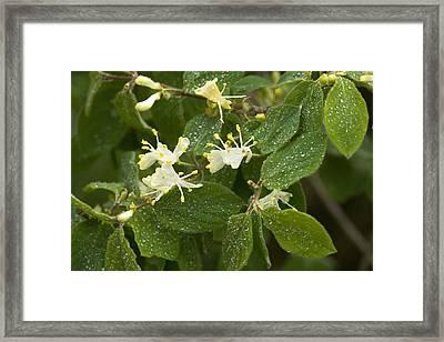 Fly Honeysuckle (lonicera Xylosteum) Framed Print by Bob Gibbons