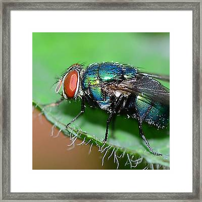 Fly Framed Print by Michelle Armstrong