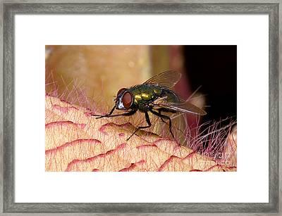 Fly On Carrion Flower Framed Print
