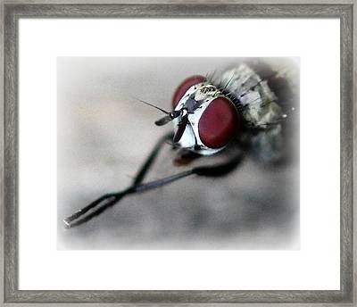Fly Rubbing His Legs Together  Framed Print by Maureen  McDonald