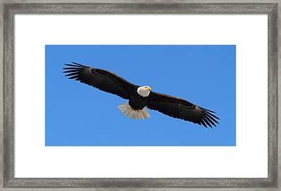 Flying Bald Eagle Framed Print