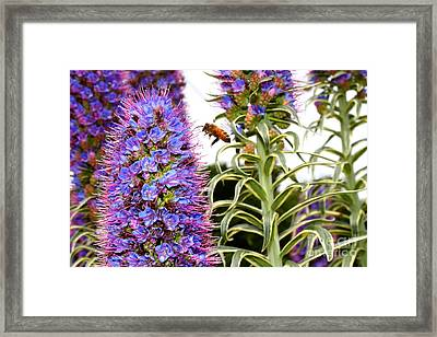 Flying Bee On Purple Pride Of Madeira Flowers . 7d14839 Framed Print by Wingsdomain Art and Photography