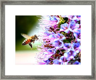 Flying Bee On Purple Pride Of Madeira Flowers . 7d14843 Framed Print by Wingsdomain Art and Photography