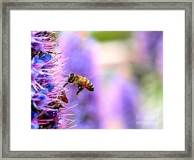 Flying Bee On Purple Pride Of Madeira Flowers . 7d14852 Framed Print by Wingsdomain Art and Photography