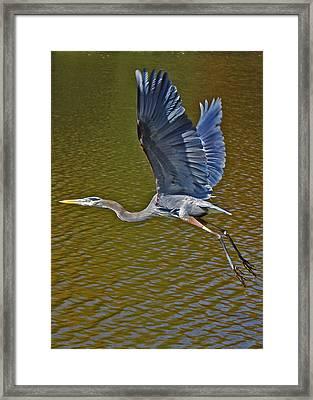 Flying Blue Heron Framed Print