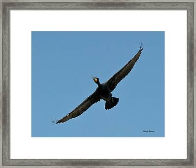 Flying Cormorant Framed Print by Stephen  Johnson