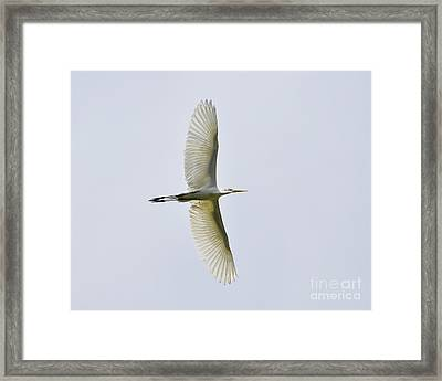 Flying Egret Framed Print by Al Powell Photography USA