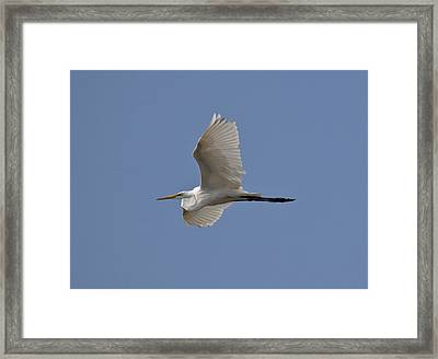 Framed Print featuring the photograph Flying Egret by Jeannette Hunt