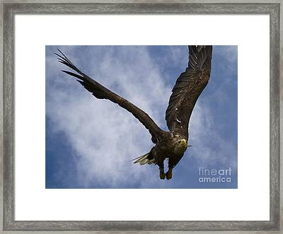 Flying European Sea Eagle I Framed Print by Heiko Koehrer-Wagner