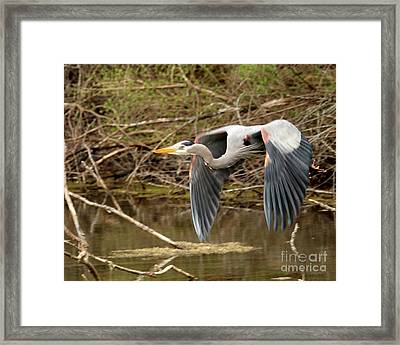 Flying Great Blue Heron Framed Print