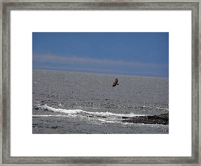 Flying Juvenile Bald Eagle Framed Print by Mark Caldwell