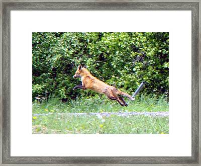 Flying Red Fox Framed Print by Mark Haley