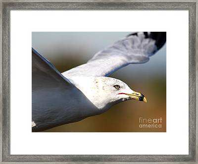 Flying Seagull Closeup Framed Print