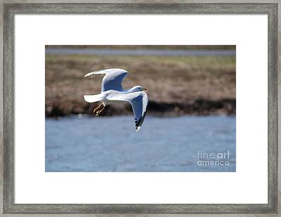 Flying Seagull Framed Print