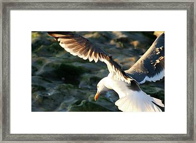 Framed Print featuring the photograph Flying Seagull by Michael Rock