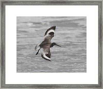 Flying Willet Framed Print by Chris Hill