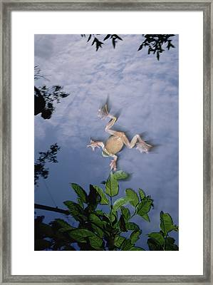Foam Nest Tree Frog Polypedates Dennysi Framed Print