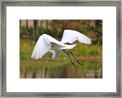 Follow Me Egret Framed Print by Carol Groenen