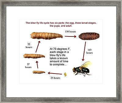 Forensic Helper, Life Cycle Of Blow Fly Framed Print