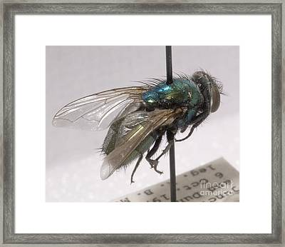 Forensic Helpers, Green Blow Fly Framed Print