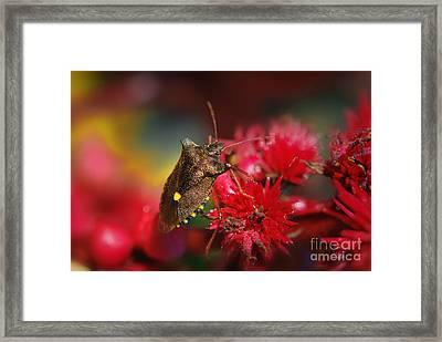 Forest Bug - Pentatoma Rufipes Framed Print by Yhun Suarez
