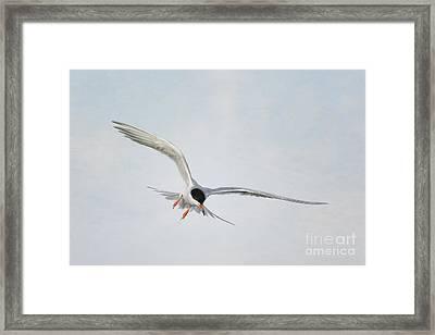 Forster's Tern Upon Cirrus Skies Framed Print