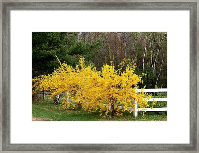 Forsythia In Bloom Framed Print