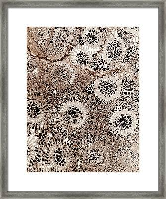 Fossil Coral, Thin Section Framed Print by Dirk Wiersma
