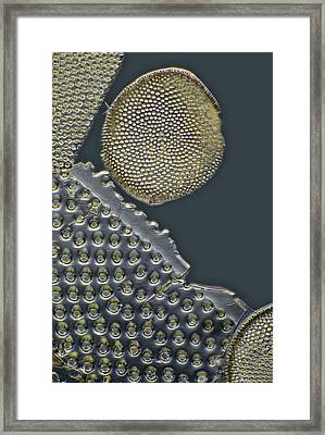 Fossil Diatoms, Light Micrograph Framed Print by Frank Fox