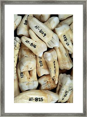 Fossilised Teeth, Sima De Los Huesos Framed Print by Javier Truebamsf