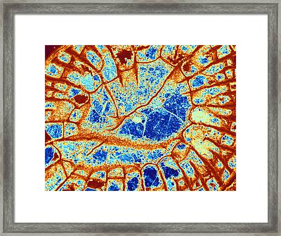 Fossilized Coral From Carboniferous Framed Print