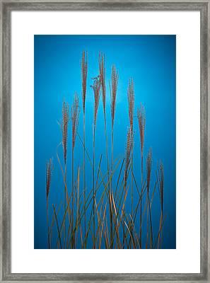 Fountain Grass In Blue Framed Print by Steve Gadomski