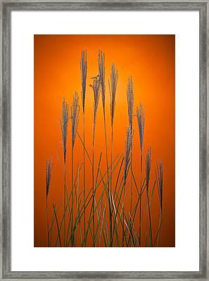 Fountain Grass In Orange Framed Print