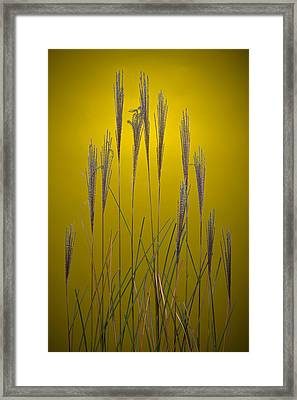 Fountain Grass In Yellow Framed Print by Steve Gadomski