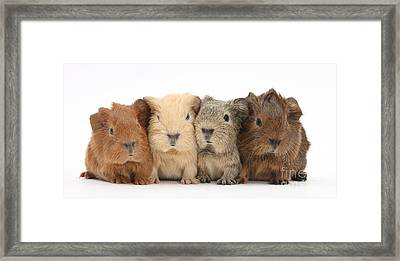 Four Baby Guinea Pigs Framed Print by Mark Taylor