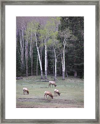 Four Elk   Four Aspen Framed Print