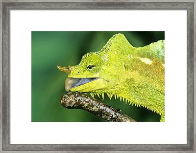 Four-horned Chameleon Drinking Framed Print