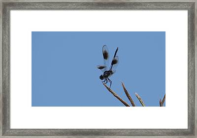Four Spotted Pennant Framed Print by Bruce W Krucke