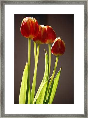 Four Tulips Framed Print by Dickon Thompson