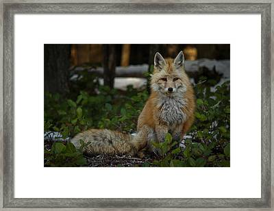 Fox In The Forest Framed Print by Warren Marshall