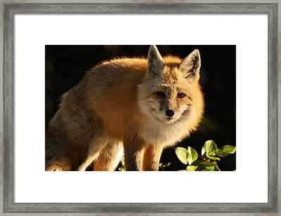 Fox In The Light Framed Print by Warren Marshall