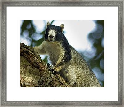Fox Squirrel Framed Print by Phill Doherty