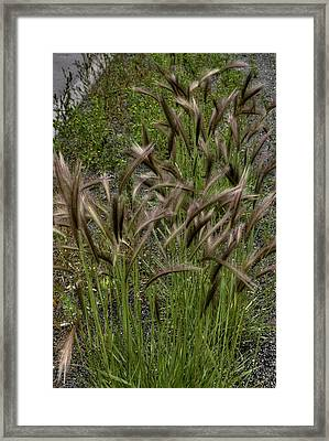 Fox Tail Grass Framed Print by Grover Woessner