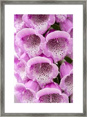 Foxglove (digitalis Purpurea Excelsior) Framed Print
