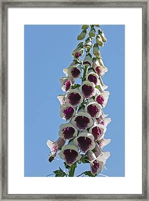 Foxglove (digitalis Sp.) Framed Print