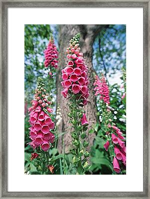 Foxglove Flowers Framed Print
