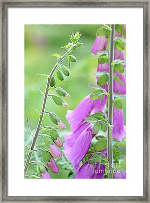 Foxglove Flowers Framed Print by Neil Overy