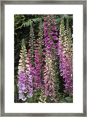 Foxglove Hybrids (digitalis 'excelsior') Framed Print