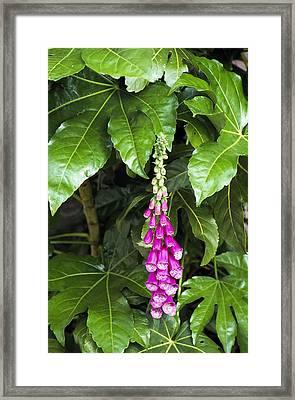 Foxglove With Japanese Aralia Framed Print